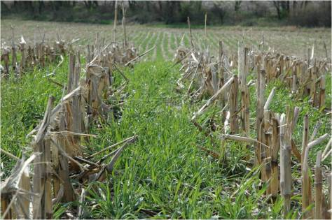 Cover crop in corn stubble